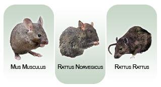 Copertina immagine ratti e topi